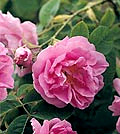 rose.de.damas